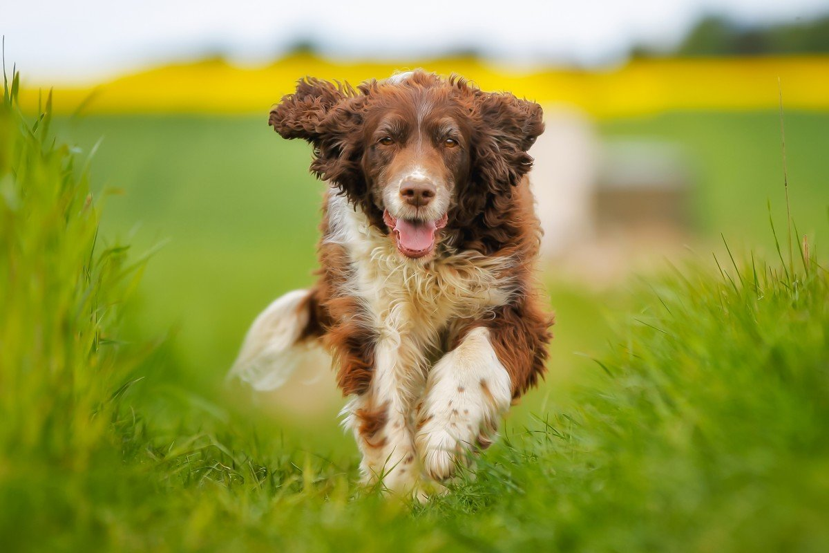 UK researchers begin training dogs to detect the scent of COVID-19